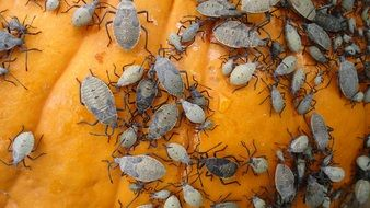 grey beetles on pumpkin