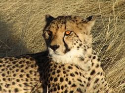 cheetah lays on tall dry grass, namibia