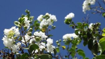 flowering tree on a blue sky background
