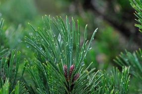 coniferous branch with dew drops