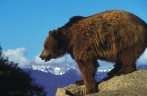 grizzly bear mammal