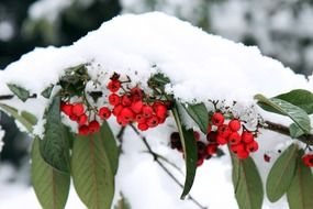 red berries on a branch under the snow