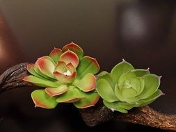 two small succulent plants