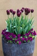 potted pansies and tulips