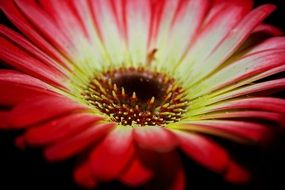 gerbera blossom on a black background
