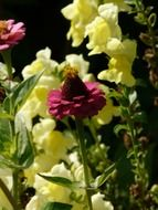 burgundy zinnia and yellow daffodil in the garden