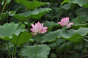 Two lotus flower among the huge leaves