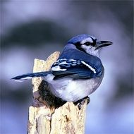 blue jay outdoors