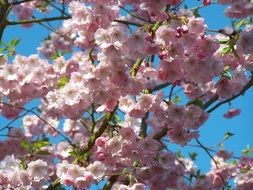 amazing cherry tree blossom