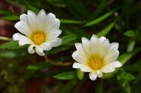 Two buds of a field daisies