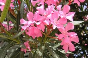 oleander is flowering plants