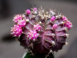cactus spurs and pears in arizona