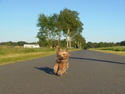yorkshire terrier runs down a country road