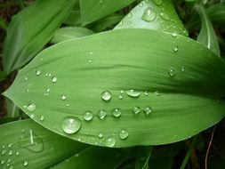 drops of water on green lily leaves