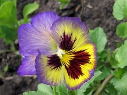 pansy flower with green leaves