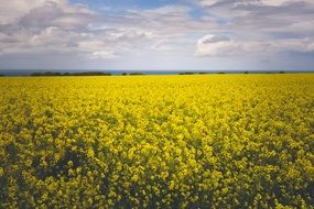enchanting yellow flowers field