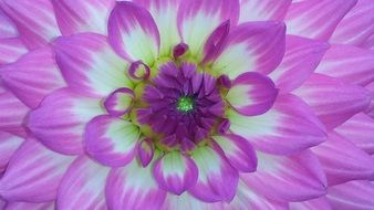 bright white-purple dahlia close up
