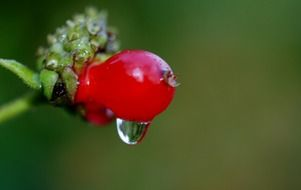 macro photo of rain drop on a red berry