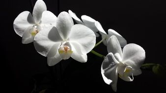 White blooming orchid flowers
