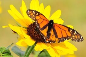 monarch butterfly on the yellow flower