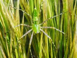 peucetia viridans or green lynx spider