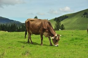 milk cow in mountains at pasture