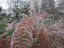 frost fern nature