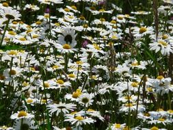 field of white daisies in spring