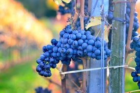 fresh viticulture grapes