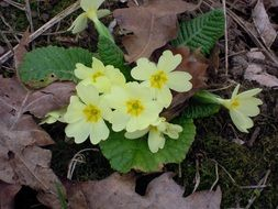 wild primrose with creamish flowers