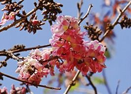 cassia pink flowers