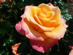 yellow pink rose after rain
