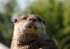 otter is a representative of the fauna