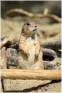 prairie dog in zoo, netherlands, Amsterdam