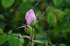 pink rose through the mesh of the fence