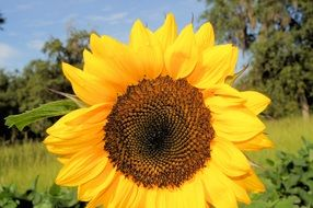 rural sunflower