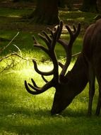 red deer grazing in a meadow in the glare of light