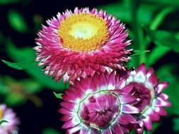 multicolored strawflowers
