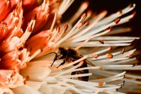 bee pollinates a flower close-up