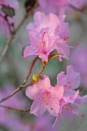 rhododendron, beautiful purple flowers