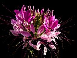 spider flower on a black background