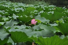 lone lotus flower among large green leaves in the pond