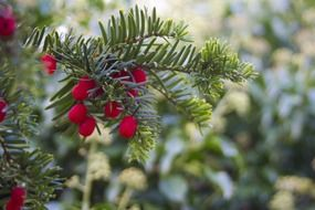 red berries on a conifer