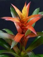 Guzmania is an ornamental plant