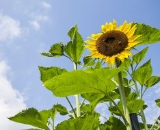 colorful sunflower under blue sky