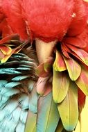 Colorful tropical parrot is sleeping