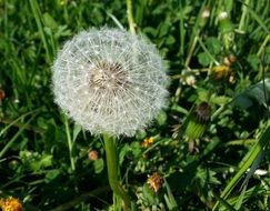 dandelion with seeds in a green meadow