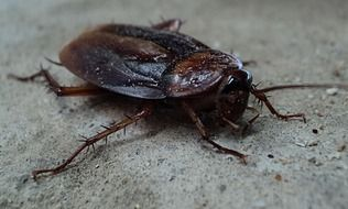 big red cockroach close