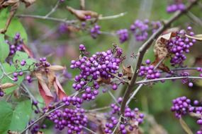 purple berries on a bush