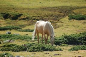 noble white horse grazing in a meadow